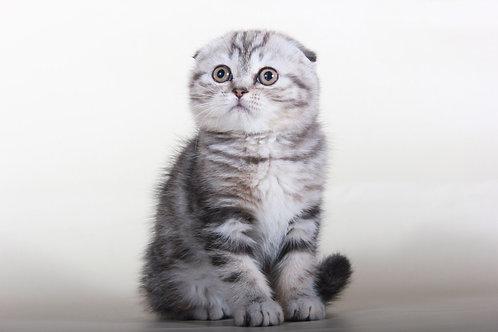 Alaina black marble color Scottish fold female kitten