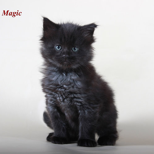 Black Magic Maine Coon male kitten in black with smoky color