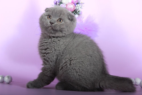 Kay purebred Scottish fold kitten in a blue color