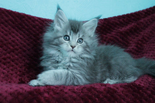 Emma Maine Coon kitten