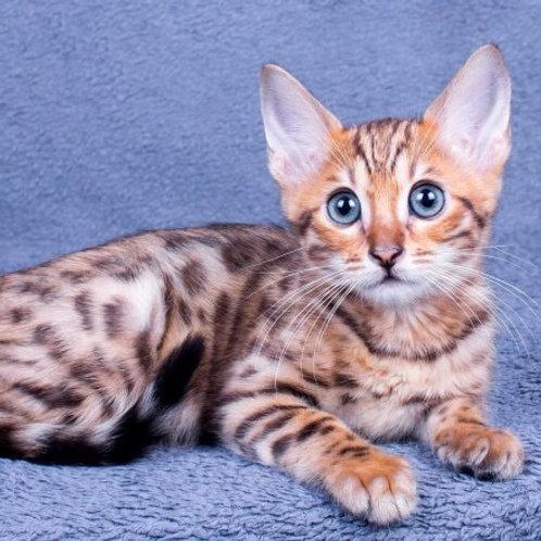 Cathy purebred Bengal female kitten