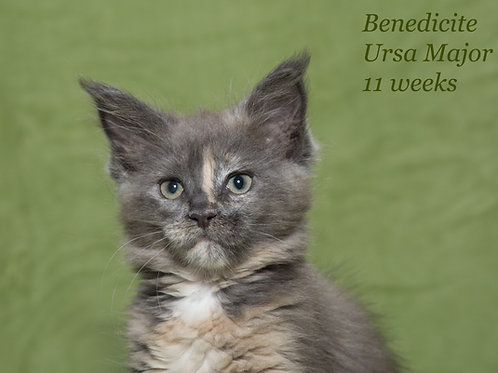 Ursa Maine Coon female kitten in a blue creamy color