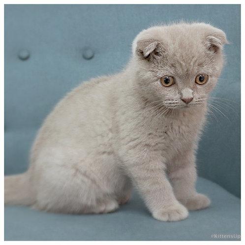Billy lilac color Scottish fold male kitten