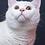 Thumbnail: Wilson purebred British shorthair male kitten