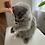 Thumbnail: 416 Pushynka      Scottish fold longhair female kitten