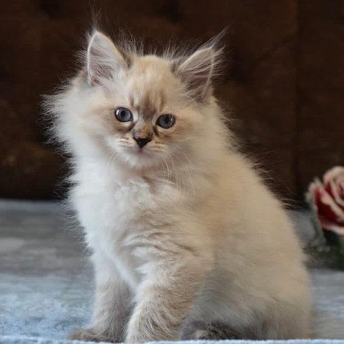 592 Don Juan Siberian male kitten
