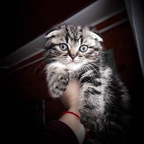 Lorenzo Scottish fold shorthair male kitten