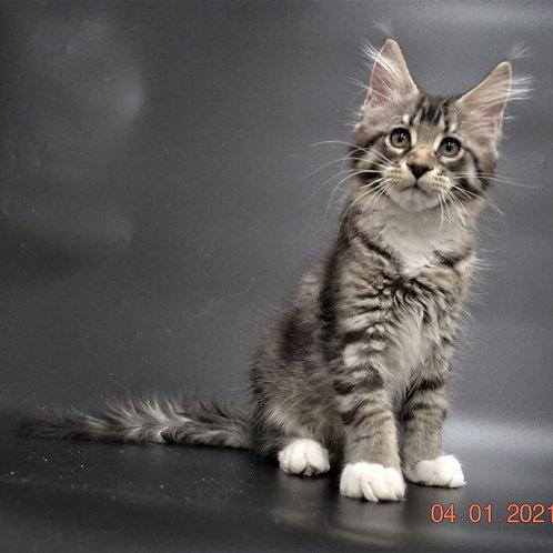 871 Effect Maine Coon male kitten