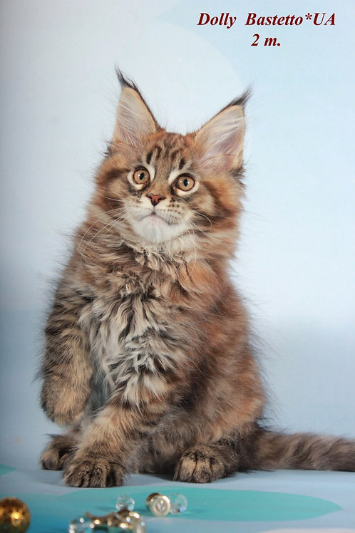 Dolly purebred Maine Coon female kitten
