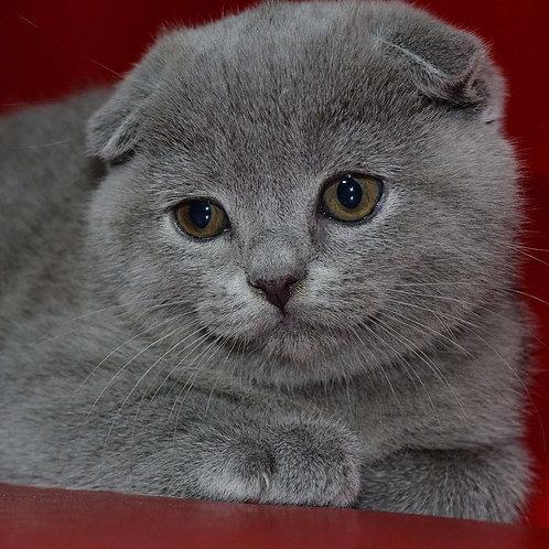 Jasmin Scottish fold shorthair female kitten