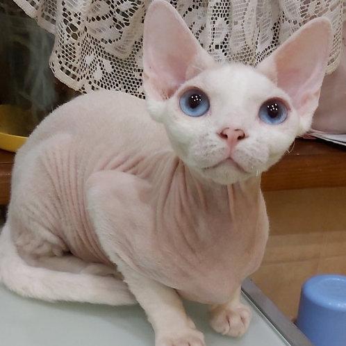 Karlos Devon Rex kitten