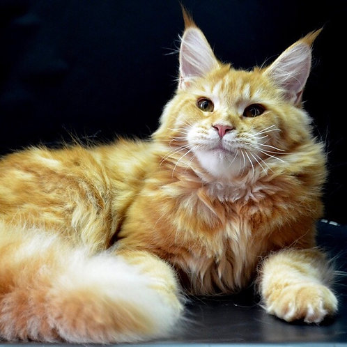 Tania Maine Coon in a red marble color