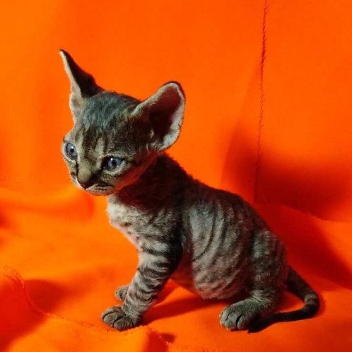 Pinpong black tabby color male kitten Devon Rex