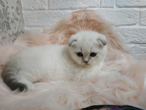 Gabby color point purebred Scottish fold shorthair kitten