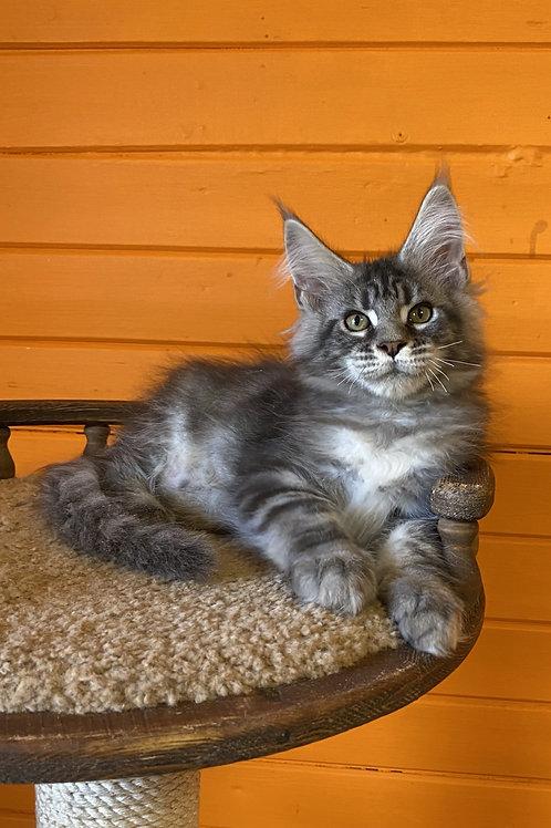 Grandioso Maine Coon male kitten