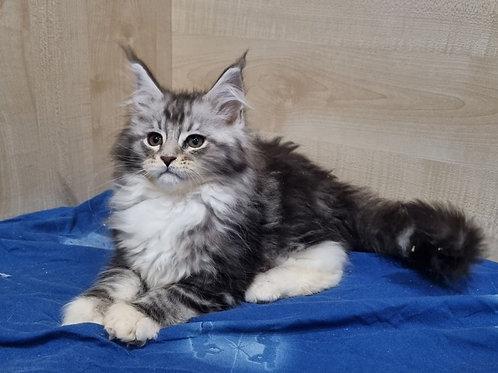 482 Tais    Maine Coon female kitten