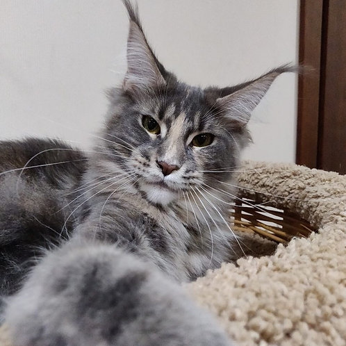 Fortune Maine Coon blue tortie color female cat