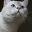 Thumbnail: Xenia purebred British shorthair female kitten