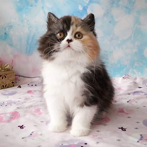 Kiara Scottish straight longhair female kitten