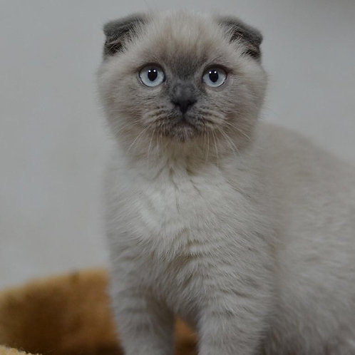 Cupcake blue point Scottish fold boy