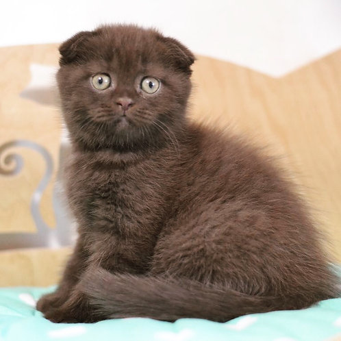 Chocoladka attractive Scottish fold male kitten