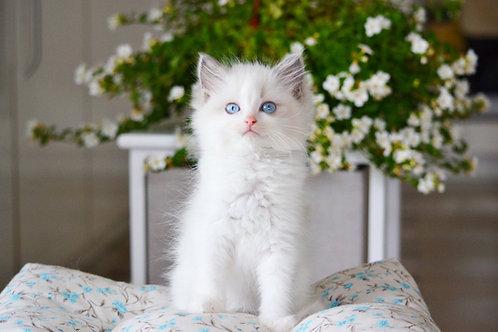 Tiffany  Ragdoll female kitten