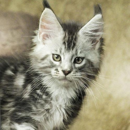 Graf Maine Coon kitten