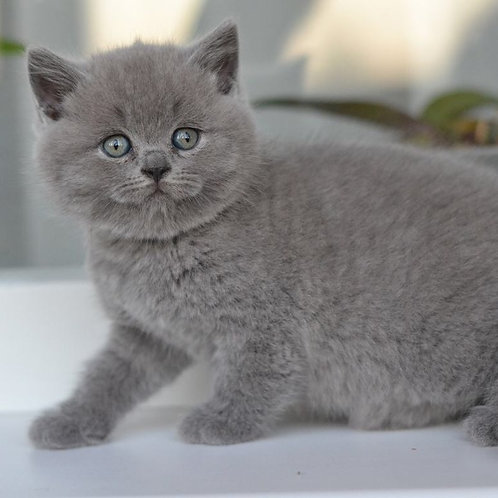 Bambino show quality purebred Scottish fold kitten in a blue color