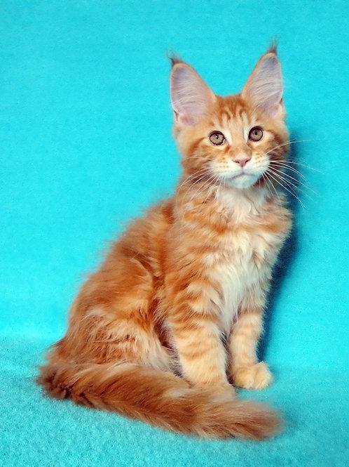Edvin  Maine Coon male kitten