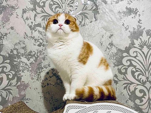 497 Ford  Scottish fold shorthair male kitten