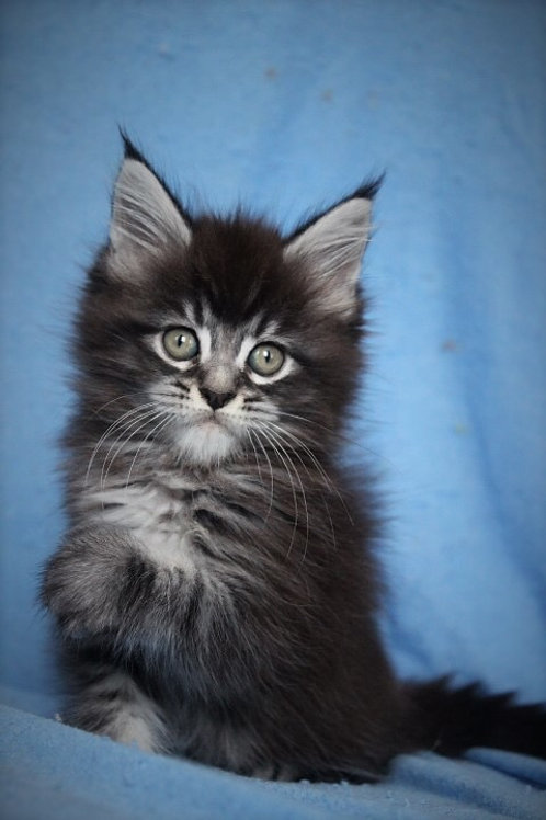Martin Maine Coon black silver marble color kitten