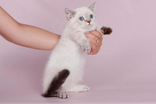 815 Tayris     Munchkin shorthair female kitten