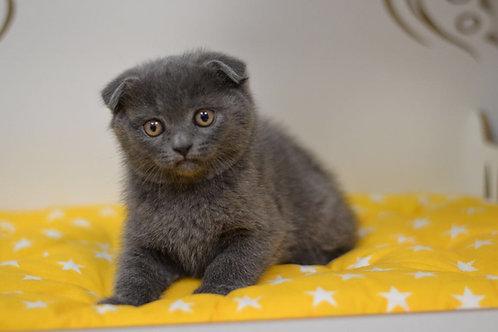 John Scottish fold shorthair male kitten