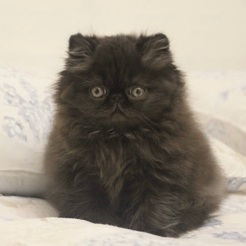140 Felix Persian male kitten