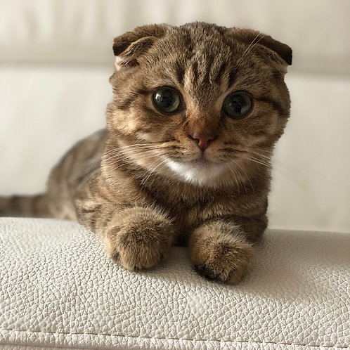 Leo purebred Scottish fold black tiger male