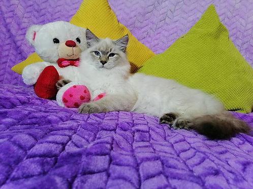 212 Penelope      Siberian female kitten