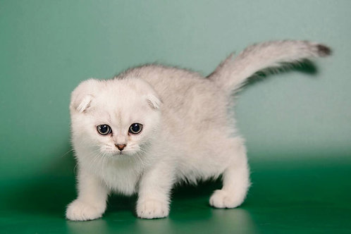 Donatello purebred Scottish fold silver chinchilla male