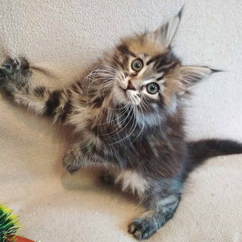 Zews Maine Coon in a black marble color