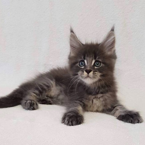 Dastin purebred Maine Coon male kitten in blue marble color