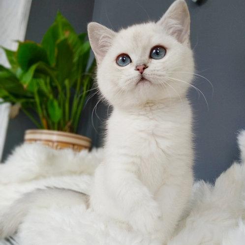 Grace Scottish straight shorthair female kitten