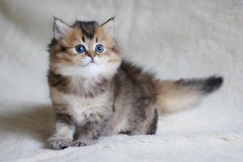 535 Jasmine  British longhair female kitten