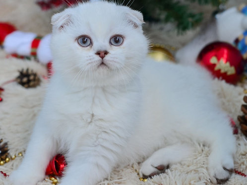 Uniti Scottish fold shorthair male kitten