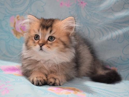Eddi Scottish straight longhair male kitten