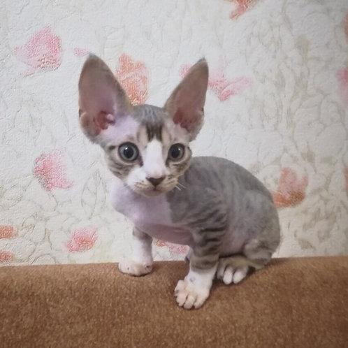 Paris blue bicolor male kitten Devon Rex