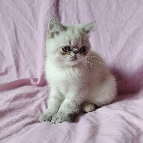 Lulu blue point  Exotic shorthair female kitten