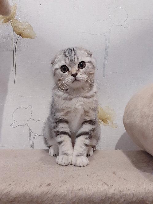 Martin Scottish fold male kitten