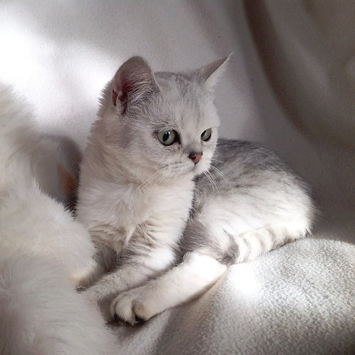 Krid purebred Scottish fold kitten in a chinchilla color