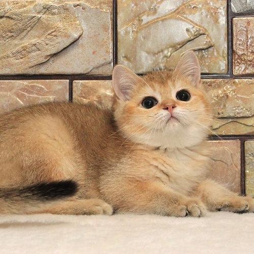 Tiguan purebred British shorthair male kitten