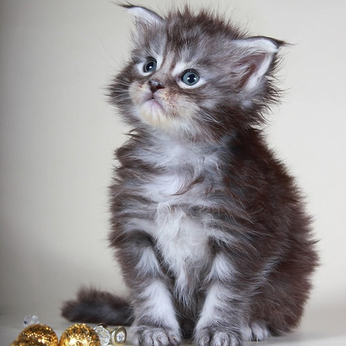 Darinka purebred Maine Coon female kitten