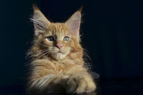 Romeo Maine Coon male kitten